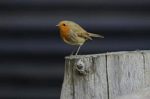 Robin perched on a tree stump photo