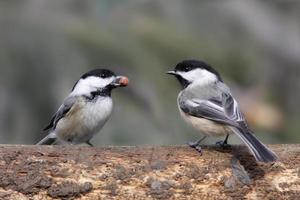 Pair of Black-capped Chickadees (poecile atricapilla)