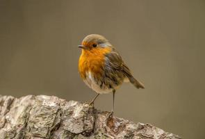Robin, redbreast, Erithacus rubecula, perched on a tree trunk