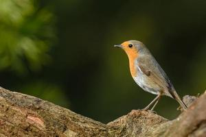 European robin (Erithacus rubecula) photo