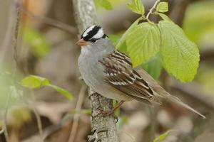 White-crowned Sparrow Perched on a Branch in Spring photo