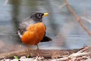 Front view of American robin, turdus migratorius photo