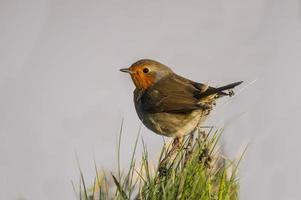 Robin perched on a clump of grass, close up