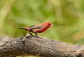 male Red Avadavat photo