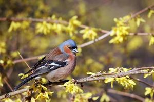 Finch sitting on a branch forsythia. photo