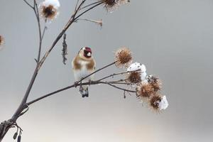 Goldfinch, Carduelis cardueliss