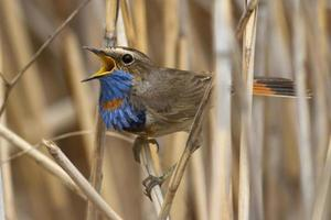 male Bluethroat red star-shaped singing on a branch