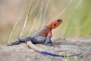 Agama on a rock