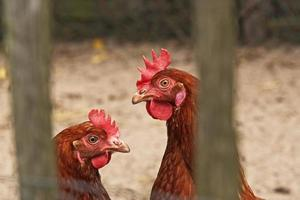 Primer plano de dos pollos al aire libre en gallinero. foto