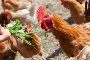 Chickens photo
