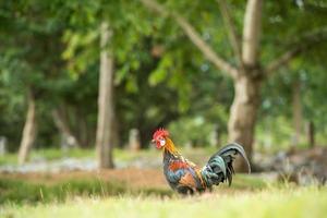 chicken in nature , open farm