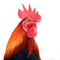 Closeup of rooster on white background