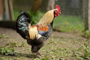 galo ou galinhas na exploração avícola tradicional ao ar livre