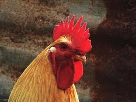 cabeza de gallo foto