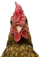 Primer plano de gallo sebright dorado.