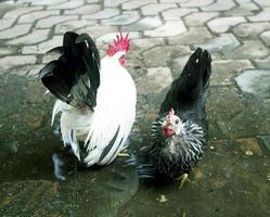 Chicken feeding on the ground.
