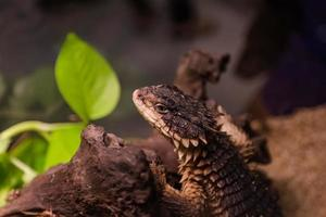 Girdled Lizard Island on timber photo