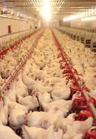 largas hileras llenas de pollos blancos vivos en granja de pollos foto