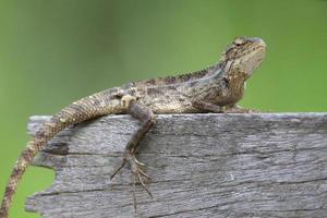 Lizard 5 photo