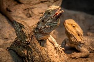 Three Bearded Dragons