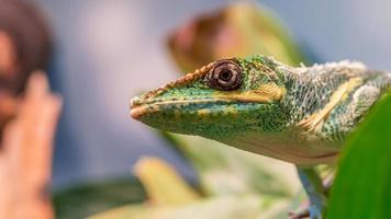 Knight anole (Anolis equestris) from the side looking up photo