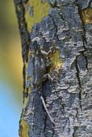 lagarto africano foto