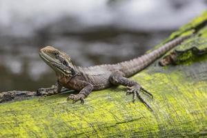 Cerca del lagarto dragón oriental de agua, Australia foto