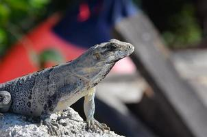 isla mujeres lizard photo
