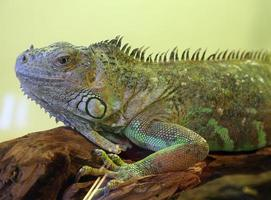 large iguana with open eye