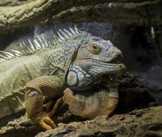 retrato de iguana cabeça e perna