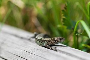 lagarto pequeño foto