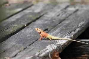 lagarto rojo foto