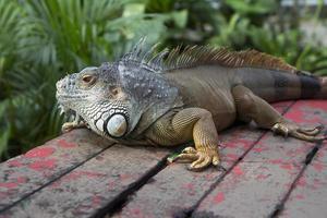 Iguana. photo