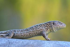 Common Lizard, Lacerta vivipara