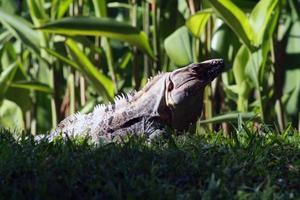 iguane dans l'herbe
