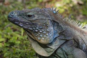 iguana azul close-up