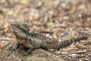 dragão de água australiano
