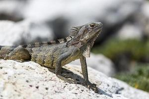 Iguana on a rock photo