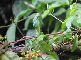 basilisco esmeralda foto