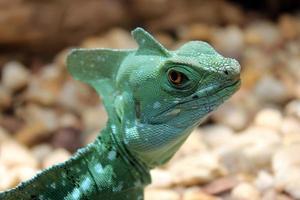 mirada de lagarto enojado