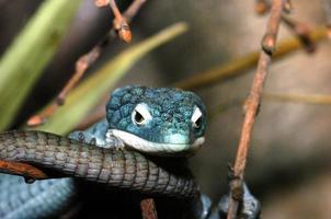 lagarto cocodrilo arbóreo foto