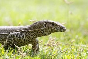 Monitor Lizard (Sril Lanka) photo