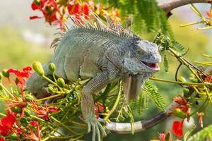 reptile on flamboyant