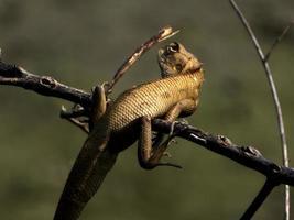 lagartos de jardín de aspecto inocente