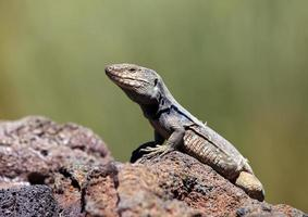 Lizard, Gallotia Galloti, Tenerife, Canary Islands
