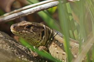Sand lizard, weibliche Zauneindechse (Lacerta agilis)