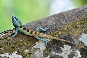 Full body of blue lizard on tree