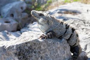 Iguana on rock at Tulum Mexico