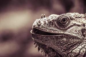 Leguan portrait closeup, vintage color filter photo