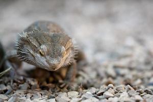 Dragon barbudo foto